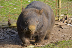 Hairy nosed wombat looking right back at you. Adult Australian hairy nosed wombat staring at you, ready to make a charge. These mammals are fiercely territorial Stock Image