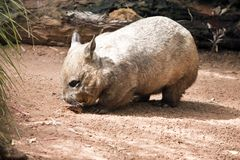 Hairy nosed wombat. The hairy nosed wombat is searching for food stock photography