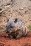 Hairy nosed wombat. Walking around a typical outback countryside in Australia stock photography