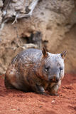 Hairy nosed wombat. Walking around a typical outback countryside in Australia stock photo