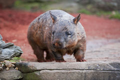 Hairy nosed wombat. Walking around a typical outback countryside in Australia royalty free stock photo