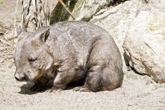 Hairy nosed wombat Royalty Free Stock Images