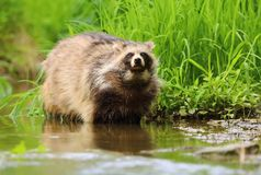 Hairy Nyctereutes procyonoides in stream Stock Photography