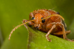 A hairy orange beetle Stock Image