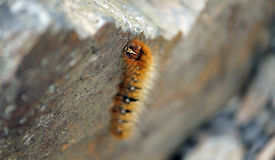 Hairy Orange Caterpillar. On a rock in the Lake District, UK Stock Photo