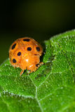 Hairy orange ladybug. Hairy orange black-spotted ladybug in Masoala national park, Madagascar. Family pres. Epilachninae Stock Images