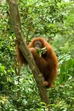 Hairy orangutan eating Royalty Free Stock Image
