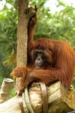 Hairy orangutan sitting at a tree Stock Images