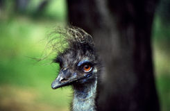 Hairy Ostrich Head Royalty Free Stock Image