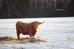 Hairy ox in the wintersnow. Highland cows, standing in snow Royalty Free Stock Photos