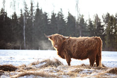 Hairy ox in the wintersnow. Highland cows, standing in snow Stock Photo