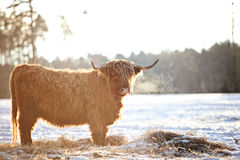 Hairy ox in the wintersnow. Highland cows, standing in snow Stock Images