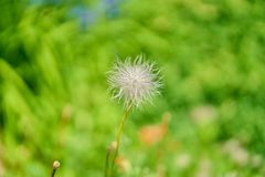 Pascue flower post blooming. Hairy pasque plan post flowering stock images