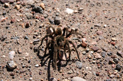 Hairy Patagonian Spider. Big hairy and scary patagonian spider moving through pampa, Argentina Stock Images