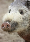Hairy Pig. Portrait of Borneo Bearded Pig Stock Images
