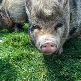 Hairy Pig. Close up background royalty free stock photos