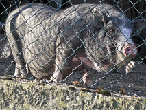 Hairy pig Stock Photography