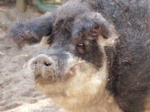 Hairy pig in wildlife Stock Images