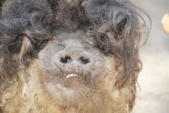 Hairy pig in wildlife. Pig autumn nature wildlife Royalty Free Stock Images