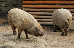 Hairy pigs. Two hairy domesticated pigs in the outdoor enclosure Stock Photography