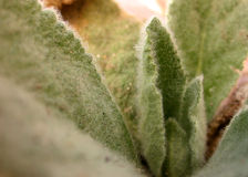 Hairy Plant Fuzzy Leaves stock photography