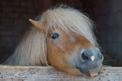 Hairy pony. In a farm Royalty Free Stock Photography