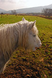 Hairy Connemara Pony looking for food on a Green F Stock Photos