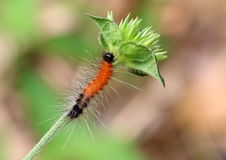 Hairy red caterpillar with black head and tail on a branch. Royalty Free Stock Images