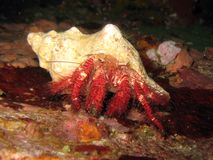 Hairy Red Hermit Crab - Dardanus lagopodes Stock Images