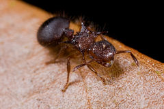 A hairy reddish ant Royalty Free Stock Images