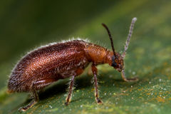 A hairy reddish beetle Stock Image