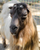 The Hairy reddish brown goat. The Hairy reddish brown goat Royalty Free Stock Photos