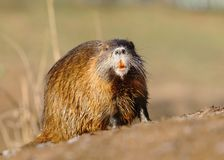 River coypu Myocastor coypus by the river. Hairy river coypu Myocastor coypus by the river royalty free stock images