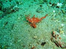 Hairy Scorpionfish Stock Image