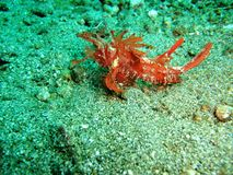 Hairy Scorpionfish Royalty Free Stock Images