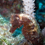 Hairy Sea Horse. A close up of a Hairy Sea Horse camouflaged against the reef and aquatic plants Stock Photo