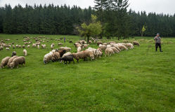 Hairy sheep on a green meadow 21 Royalty Free Stock Photo