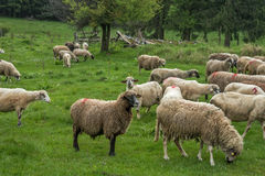 Hairy sheep on a green meadow 25. Hairy sheep on a green meadow in a mountain Brezovica, Serbia Stock Images