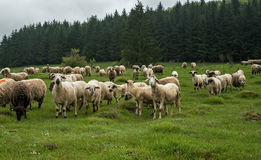 Hairy sheep on a green meadow 49 Royalty Free Stock Photography