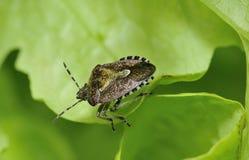 Hairy Shieldbug or Sloe Bug Royalty Free Stock Photography
