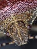 Hairy Shieldbug UK - Macro Royalty Free Stock Photo