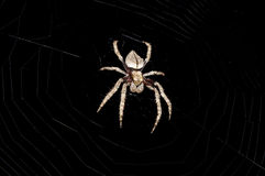 Hairy spider Royalty Free Stock Image
