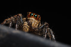 Hairy Spider Stock Photo