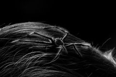 Hairy spider. Spider crawling through human hair stock images