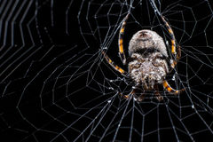 Hairy spider and its web. Hairy spider on its web waiting for prey Stock Image
