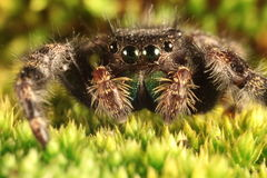 Hairy spider with large eyes close up Royalty Free Stock Images