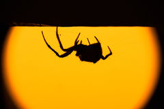 Hairy spider in silhouette Royalty Free Stock Photo