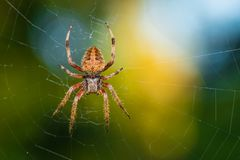 Hairy Spider. A hairy spider in a web Royalty Free Stock Image