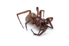 Hairy spider Royalty Free Stock Photography