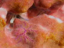 Hairy Squat Lobster Stock Photos